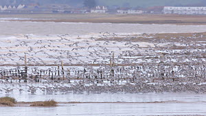 Large mixed flock of Knot (Calidris canutrus), Dunlin (Calidris alpina) and Golden plover (Pluvialis apricaria) taking off at high tide, Steart Marshes WWT Reserve, Somerset, England, UK, January.  -  John Waters