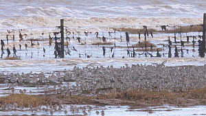 Large mixed flock of Knot (Calidris canutrus), Dunlin (Calidris alpina) and Golden plover (Pluvialis apricaria) taking off from shoreline at high tide, Steart Marshes WWT Reserve, Somerset, England, U...  -  John Waters