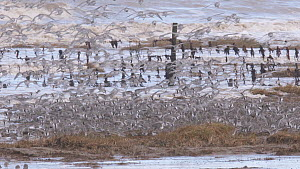 Mixed flock of Knot (Calidris canutrus), Dunlin (Calidris alpina) and Golden plover (Pluvialis apricaria) in flight at high tide, landing on shoreline, Steart Marshes WWT Reserve, Somerset, England, U...  -  John Waters