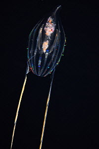 Comb jelly / sea gooseberry (Hormiphora palmata) diffracting  light through cilia (fine hair-like structures) on the comb rows, Kailua Kona, Hawaii, USA. - Doug Perrine
