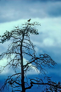 Spotted redshank (Tringa erythropus) adult perched on tree over nesting area, Munio, Finland. - Melvin Grey