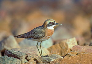 Greater sand plover (Charadrius leschenaultii) adult male, winter Eilat, Israel. - Melvin Grey