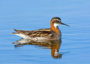 Red-necked phalarope (Phalaropus lobatus) adult male, summer breeding plumage, Churchill, Manitoba, Canada, June.  -  Melvin Grey
