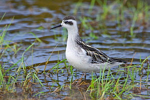 Red-necked phalarope (Phalaropus lobatus) in winter  plumage.   Feeding in wet marshland on the edge of Carmarthen, Wales, UK, September.  -  Melvin Grey