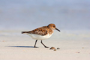 Sanderling (Calidris alba) adult  in breeding plumage, on northerly spring migration. North Uist,  Outer Hebrides,  Scotland, UK, May.  -  Melvin Grey