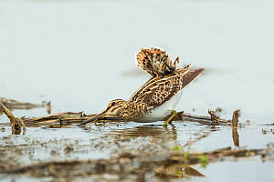 Common snipe (Gallinago gallinago) adult - displaying to snipe flying nearby, Varna Wetlands,  Bulgaria.  -  Melvin Grey