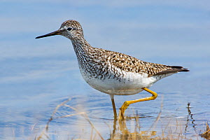 Lesser yellowlegs (Tringa flavipes) adult, Churchill, Manitoba, Canada, March.  -  Melvin Grey