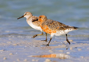 Red knot (Calidris canutus)  adult  in breeding plumage, with non breeding adult, Fort De Soto, Florida, USA, April.  -  Melvin Grey