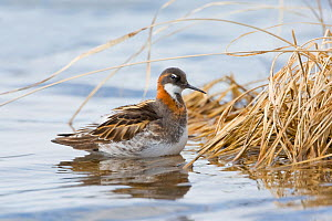 Red-necked phalarope (Phalaropus lobatus)  adult male, summer breeding plumage. Churchill, Manitoba, Canada, May.  -  Melvin Grey