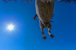 Point-to-Point horse racing, low angle view of racehorse jumping fence, Monmouthshire, Wales, UK. March 2014.  -  Phil Savoie