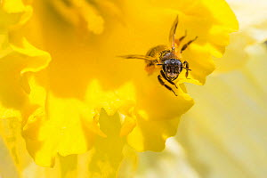 Mining bee (Andrena sp.) at Daffodil (Narcissus sp.) flower, Monmouthshire, Wales, UK, April. - Phil Savoie