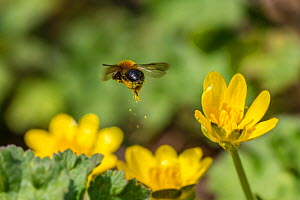 Mining bee (Andrena bicolor) leaving behind a golden pollen trail mid-air. Lesser Celandine (Ranunculus ficaria) Monmouthshire, Wales, UK, March.  -  Phil Savoie