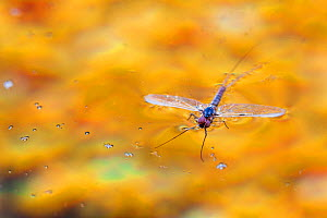 Blue winged olive mayfly ( Baetis tricaudatus) male dead on water after mating, Bozeman, Montana, USA.  -  Phil Savoie