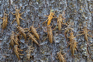 Exoskeletons of moulting nymphs of  Freshwater giant stonefly  (Pteronarcys californica) on riverside,Yellowstone National Park, Montana, USA. July.  -  Phil Savoie