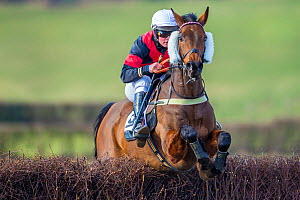 Racehorse jumping fence in  Itton point-to-point horse race, Monmouthshire, Wales, UK.  -  Phil Savoie
