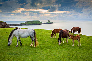 Welsh mountain ponies, grazing above Rhossili beach, The Gower, Wales, UK, August.  -  Phil Savoie