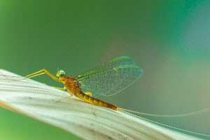 March brown mayfly (Rhithrogena germanica), mayfly, River Usk, Wales, UK, May.  -  Phil Savoie
