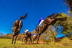 Point-to-Point horse racing, low angle view of racehorses jumping fence, Monmouthshire, Wales, UK. March 2014.  -  Phil Savoie