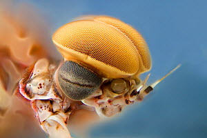 Pink lady mayfly (Epeorus albertae) close up of eye of male, Madison River, Montana, USA, August. - Phil Savoie