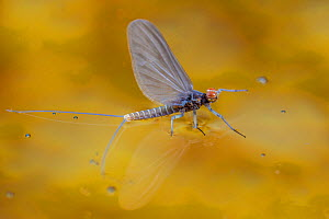 Blue winged olive mayfly (Baetis tricaudatus) flying in front of aspen leaves. Bozeman, Montana, USA. April. - Phil Savoie