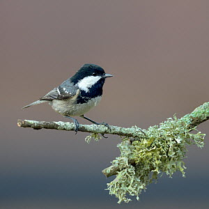 Coal tit (Periparus ater) on a branch with lichen, Vendee, France, December  -  Loic Poidevin