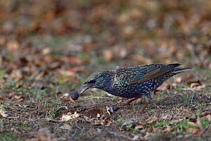 Common starling (Sturnus vulgaris) Vendee, France, December.  -  Loic Poidevin