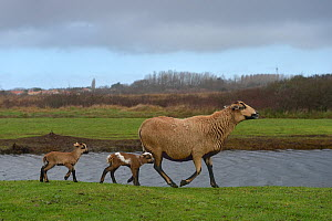 Cameroon sheep, female and lambs, age one day, Ile d'Olonne Marsh, Vendee, France, January.  -  Loic Poidevin