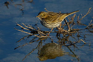 Meadow pipit (Anthus pratensis) foraging in water, Vendee, France, December.  -  Loic Poidevin