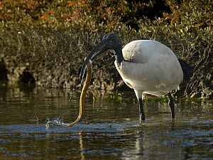 African sacred ibis (Threskironis aethiopicus) catching an eel, Breton  Marsh, Vendee, France, December - Loic Poidevin