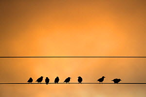 Eight Starlings (Sturnus vulgaris) on telegraph wires, Caerlaverock Wildfowl and Wetland Trust Reserve, Dumfries and Galloway, Scotland, UK, October.  -  Ann  & Steve Toon