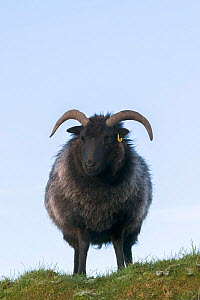 Hebridean sheep, rare breed used in conservation grazing, Caerlaverock Wildfowl and Wetland Trust reserve, Dumfries and Galloway, Scotland, UK, November.  -  Ann  & Steve Toon