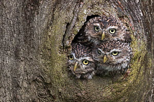 Three Little owls (Athene noctua) looking out of a nest hole, Cumbria, UK, August. Captive.  -  Ann  & Steve Toon