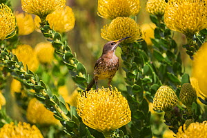Cape sugarbird (Promerops cafer) among yellow Pincushion (Leucospermum cordifolium) flowers, Kirstenbosch Botanical Gardens, Cape Town, South Africa, September. - Ann  & Steve Toon