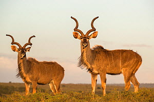 Greater kudu (Tragelaphus strepsiceros) bulls, Addo National Park, Eastern Cape, South Africa, October. - Ann  & Steve Toon