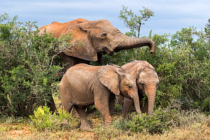 African elephant (Loxodonta africana) woth two calves, Addo National Park, Eastern Cape, South Africa, October.  -  Ann  & Steve Toon