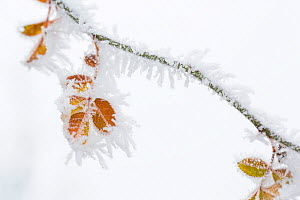 Dog rose (Rosa canina) twig covered in heavy  frost, Yonne, Burgundy, France, December  -  Cyril Ruoso