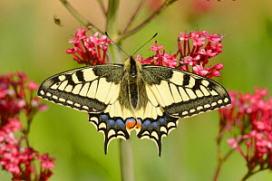 Swallowtail butterfly (Papilio machaon) on flower, Pyrenees, France, May. - Dave Watts