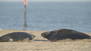 Female Grey seal (Halichoerus grypus) defending pup on beach, chasing male away, Horsey, Norfolk, November.  -  Five Films