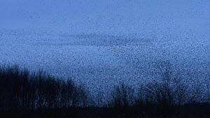 Large flock of Common starlings (Sturnus vulgaris) flying at dusk, Somerset Levels, England, UK, November.  -  Five Films