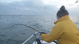 Fishermen reeling in Pollack (Pollachius pollachius), sustainably caught using pole and line, English Channel, near Salcombe, Devon, UK, November 2016.  -  Five Films