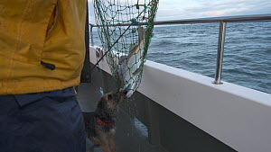 Fisherman using a net to land a large Pollack (Pollachius pollachius), with dog on boat, sustainably caught using pole and line, English Channel, near Salcombe, Devon, UK, November 2016.  -  Five Films
