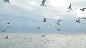 Mixed flock of Herring gulls (Larus argentatus) and Black headed gulls (Chroicocephalus ridibundus) flying at sea, filmed from a fishing boat , English Channel, near Salcombe, Devon, UK, November.  -  Five Films