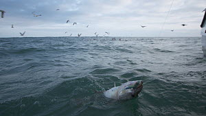 Fisherman reeling a Pollack (Pollachius pollachius) in, sustainably caught using pole and line, English Channel, near Salcombe, Devon, UK, November 2016.  -  Five Films