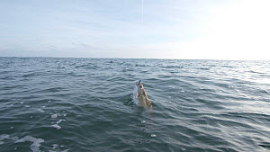 Slow motion clip of a Pollack (Pollachius pollachius) struggling on a fishing hook, sustainably caught using pole and line, English Channel, near Salcombe, Devon, UK, November 2016.  -  Five Films