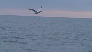 Tracking shot of a Northern gannet (Morus bassanus) flying over the sea, English Channel, near Salcombe, Devon, UK, November 2016.  -  Five Films