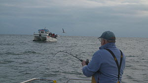 Fisherman reeling in a Pollack (Pollachius pollachius) with another boat in the background, sustainably caught using pole and line, English Channel, near Salcombe, Devon, UK, November 2016.  -  Five Films