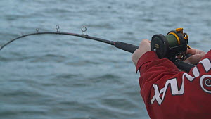 Fisherman reeling in a Pollack (Pollachius pollachius), sustainably caught using pole and line, English Channel, near Salcombe, Devon, UK, November 2016.  -  Five Films