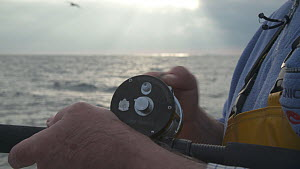 Close-up of a man reeling in a Pollack (Pollachius pollachius), sustainably caught using pole and line, English Channel, near Salcombe, Devon, UK, November 2016.  -  Five Films