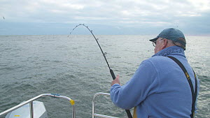 Man reeling in a Pollack (Pollachius pollachius), sustainably caught using pole and line, English Channel, near Salcombe, Devon, UK, November 2016.  -  Five Films