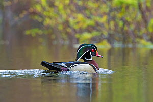 Wood Duck (Aix sponsa). male in breeding plumage. Acadia National Park, Maine, USA. May. - George  Sanker